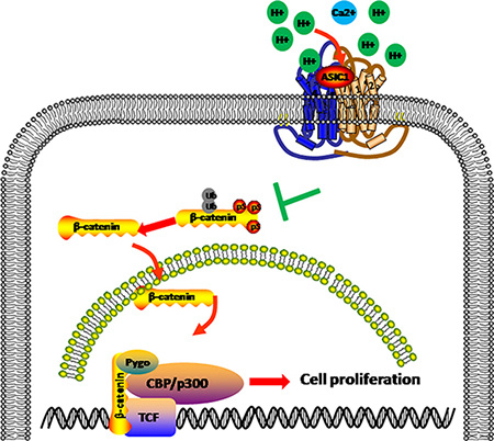 ASIC1a induce β-catenin nuclear translocation and accumulation.
