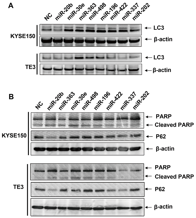 Immunoblots of LC3, P62, PARP and cleaved PARP protein after transfection of predicted cell death related miRNAs.