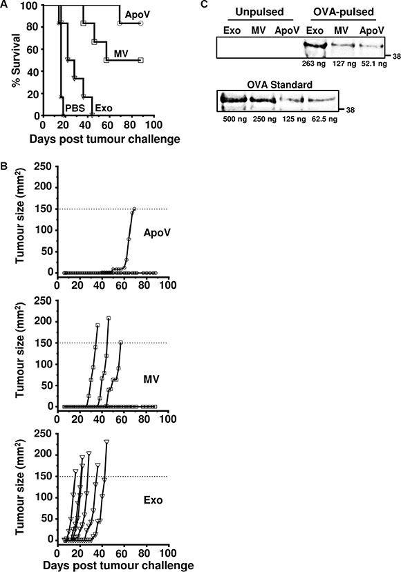 The anti-tumor effects of exogenously-pulsed B16-OVA vesicles on tumor growth.