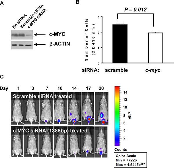 siRNA binding c-myc transcripts negatively influenced proliferation.