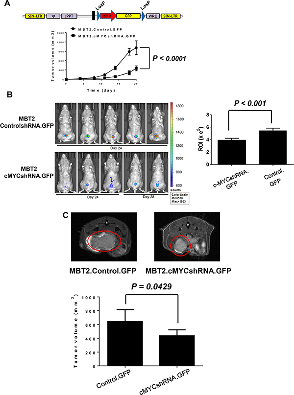 Repressed in vivo tumor growth of MBT2.cMYCshRNA.GFP in the mouse bladder.