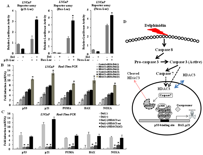 HDAC3 regulates the expression of p53 target genes.
