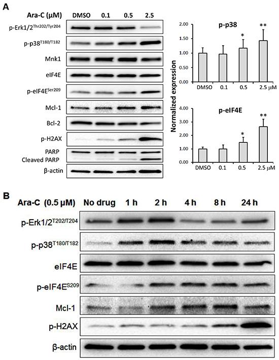Mechanism of action of Ara-C in MV4-11 cells.