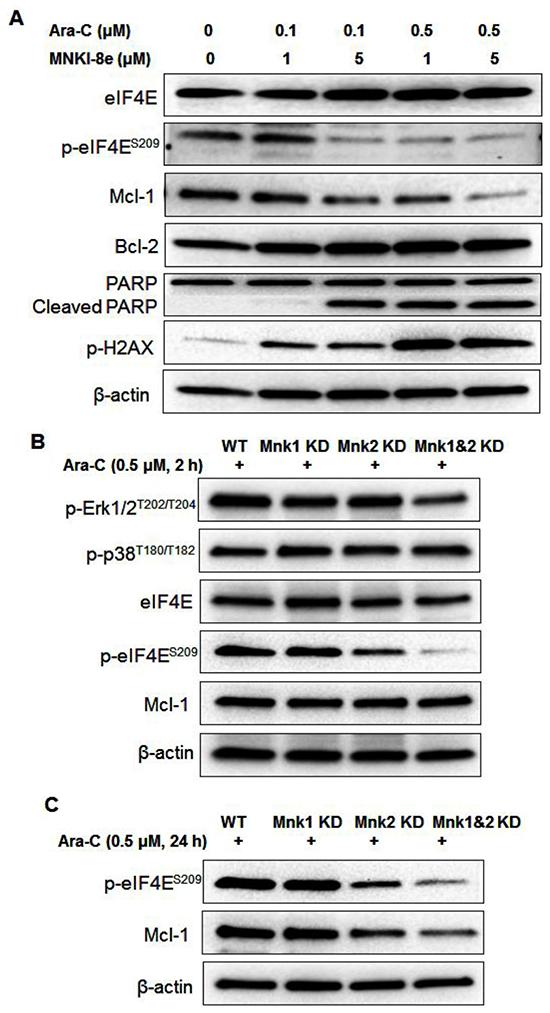 Mnk inhibition enhances the apoptotic activity of Ara-C.