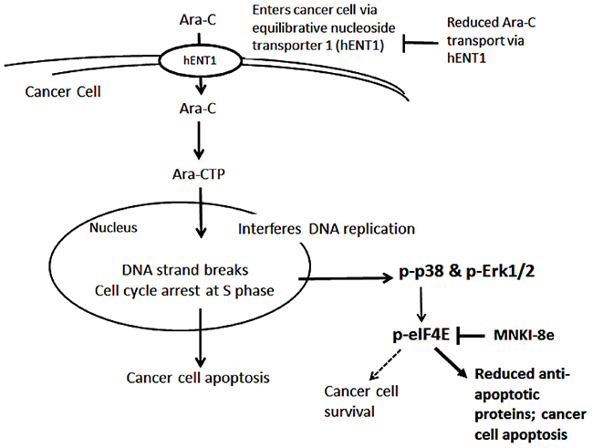 Proposed mechanisms of Ara-C and its combination with Mnk inhibitor.