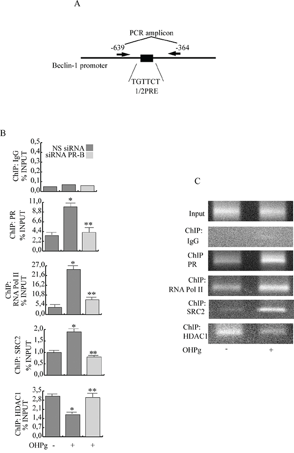 Ligand-activated PR-B binds the Beclin-1 gene promoter together with SRC-2 coactivator.