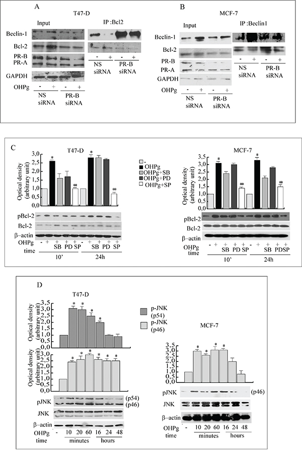 OHPg via JNK activation phosphorylates Bcl-2 and reduces Beclin-1/Bcl-2 interaction.
