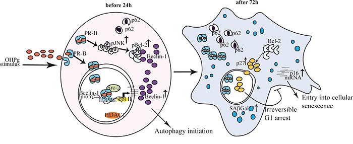 Proposed model for OHPg/PR-B-induced autophagy-senescence transition in ER+ breast cancer cells.