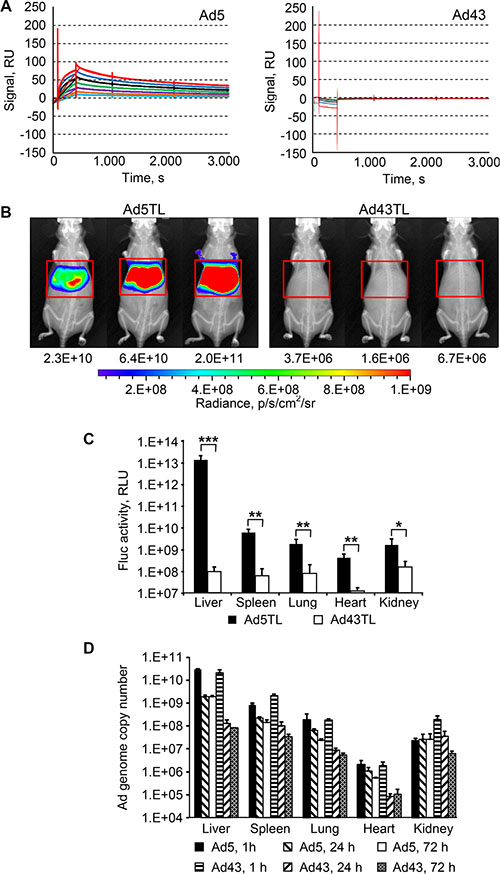 Lack of interaction between Ad43 virions and FX results in minimal hepatic transduction, but does not affect the vector uptake by the liver.