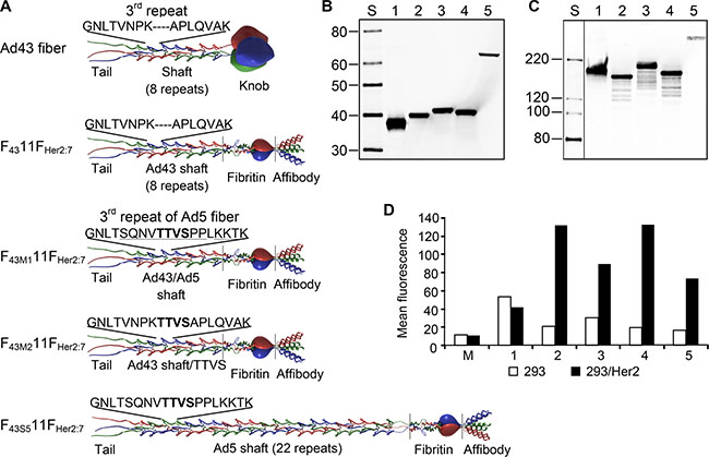Ad43 fiber-derived Her2-targeting chimeras form trimers and bind to Her2.