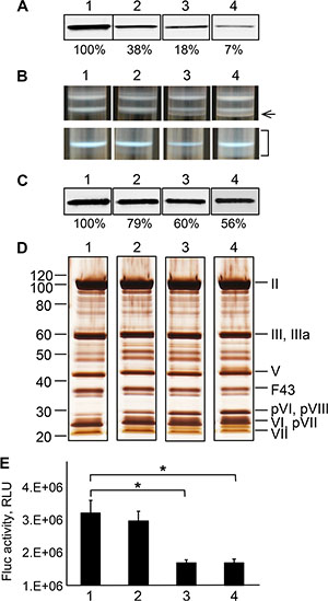 Characterization of the Ad43TL virions amplified in cell lines stably expressing the Ad43 fiber at various levels.