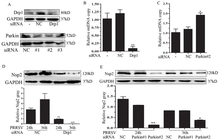 Drp1 and Parkin affects mitochondrial copy and PRRSV replication.