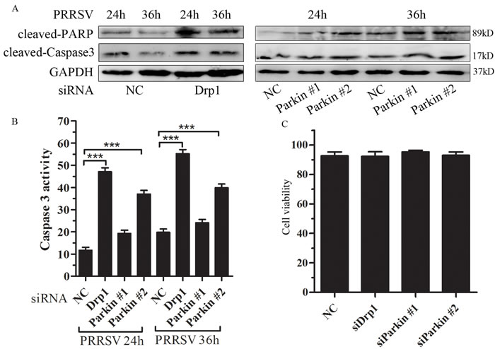 Disruption of mitochondrial fission and mitophagy lead to induction of apoptosis.