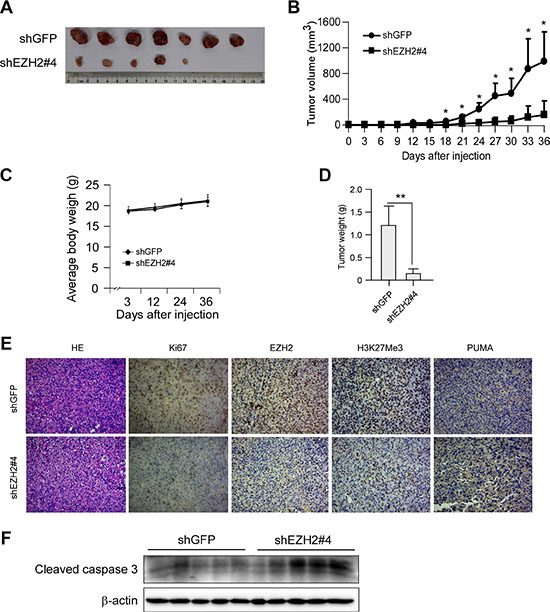 Knocking down the PRC2 catalytic component EZH2 expression inhibits tumor growth in vivo.