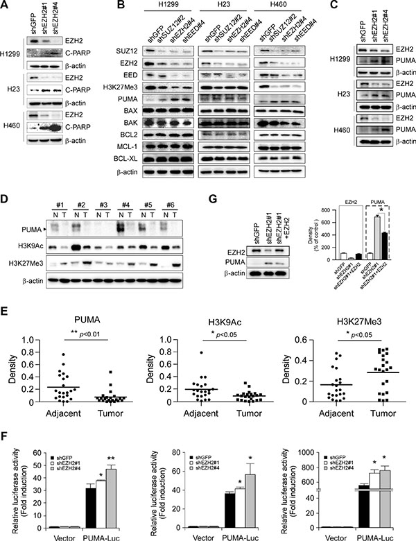 Effects of PRC2 repression on the expression of proapoptotic and antiapoptotic proteins in non-small cell lung cancer cell lines.