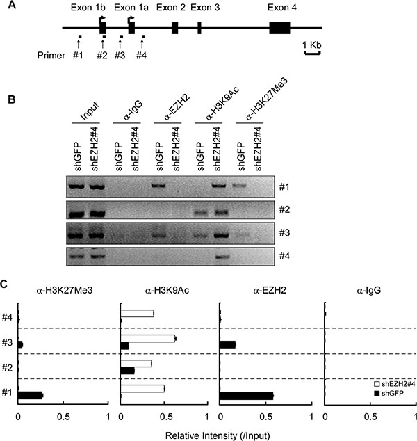 EZH2 binds to the Puma gene and regulates histone H3 modification.