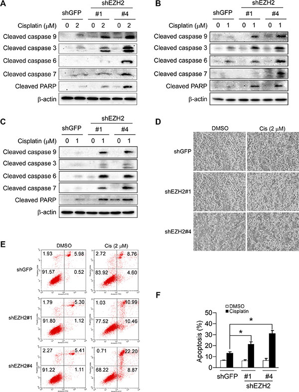 Knockdown of the PRC2 catalytic component EZH2 sensitizes non-small cell lung cancer cells to cisplatin-mediated apoptosis.