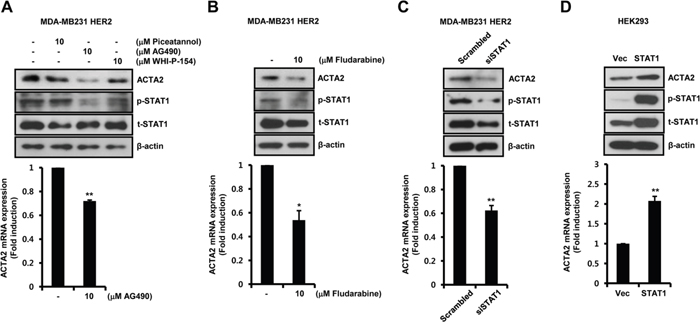 Basal ACTA2 expression is decreased by the blockage of JAK2/STAT1 pathway.