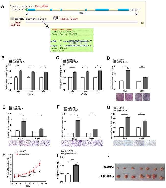 RSU1P2 exerts a tumorigenic function in vivo and in vitro.