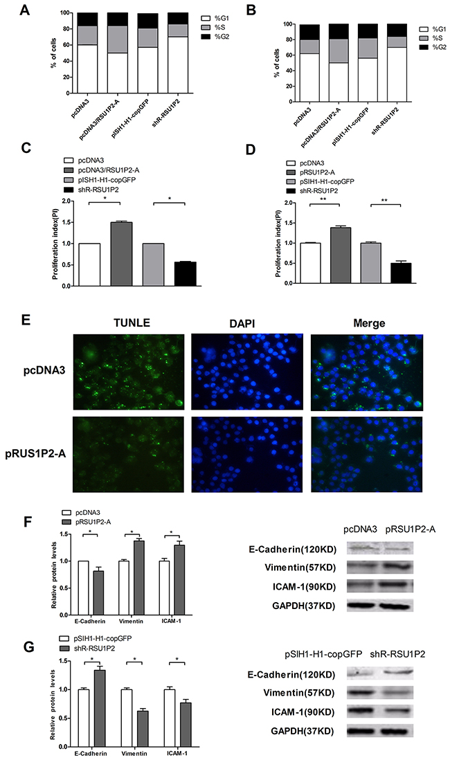 RSU1P2 accelerates cell cycle progression, inhibits cell apoptosis and facilitates the EMT process in vitro.