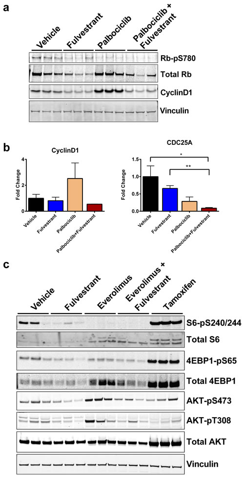 Feedback signaling from CDK4/6 (palbociclib) or mTOR (everolimus) inhibition is blocked by ER degradation in the D538G ER background.