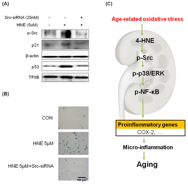 Inhibition of 4-HNE-induced cell senescence by Src-knockdown.