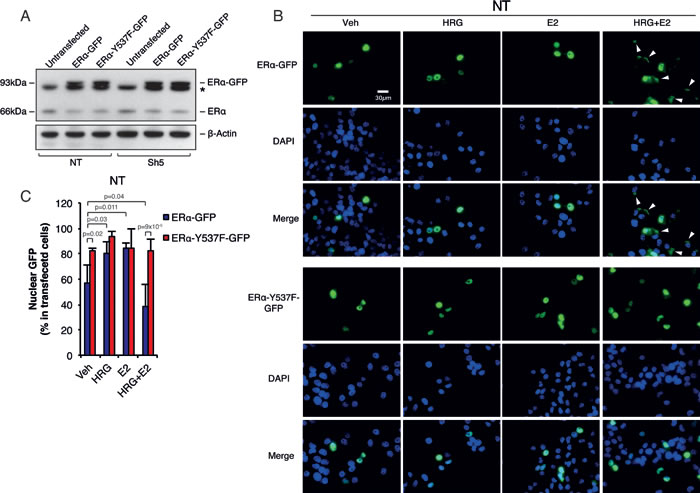 Memo controls ERα extra-nuclear localization through ERα-Y537 phosphorylation.