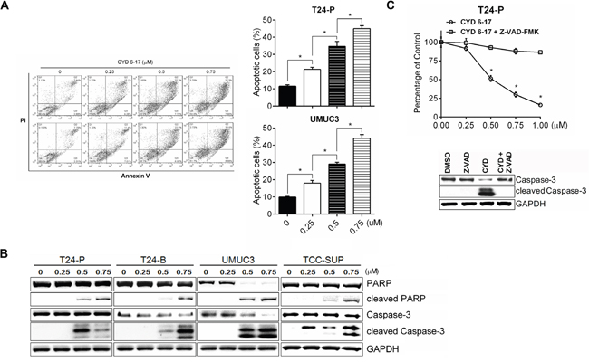 Induction of apoptosis by CYD 6-17 in TCC cell lines.