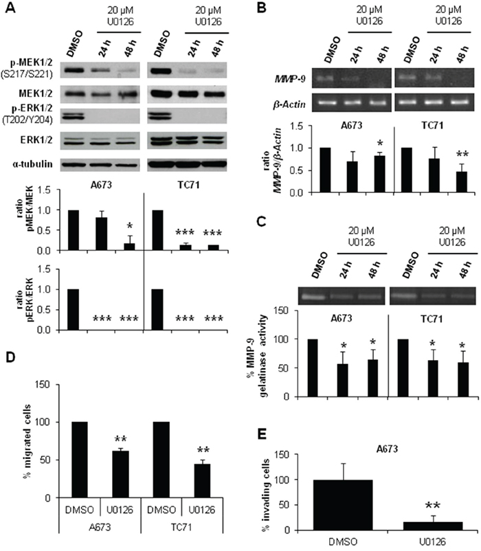 MEK1/2 inhibitor U0126 reduced MMP-9 expression and activity and diminished migration and invasion in ES cell lines.