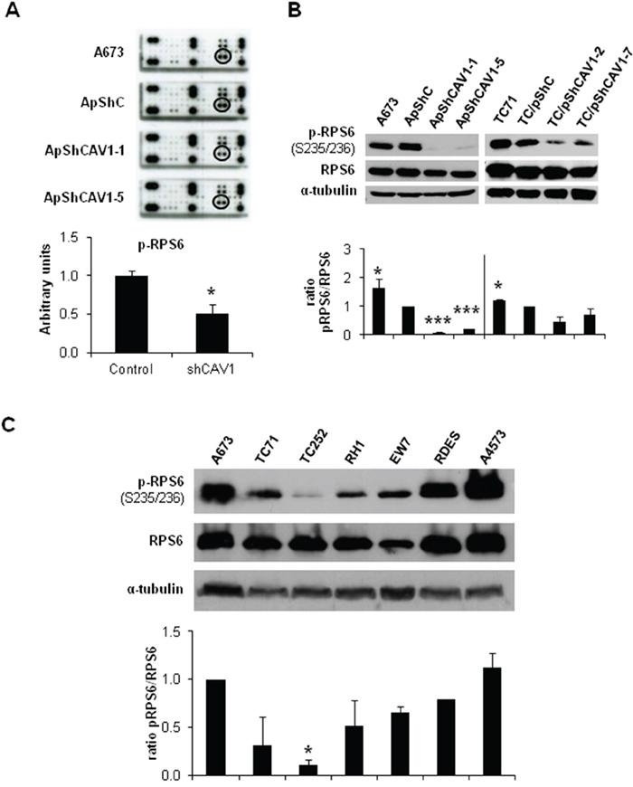 RPS6 phosphorylation is decreased in CAV1-silenced cells.
