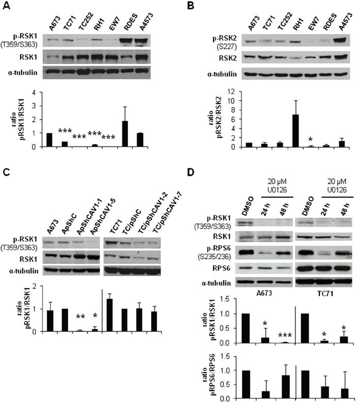 CAV1-knockdown and MEK1/2 inhibition reduced RSK1 phosphorylation levels.