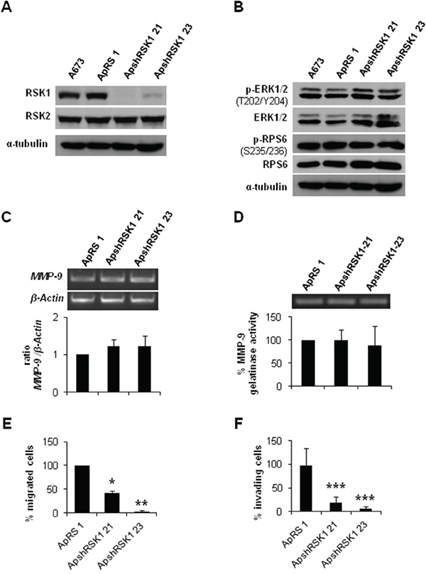 RSK1 silencing did not affect MMP-9 expression but abrogate both migration and invasion of ES cells.