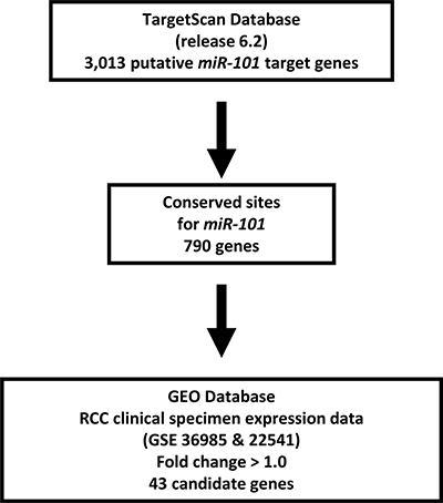 Selection strategy for target genes of miR-101.