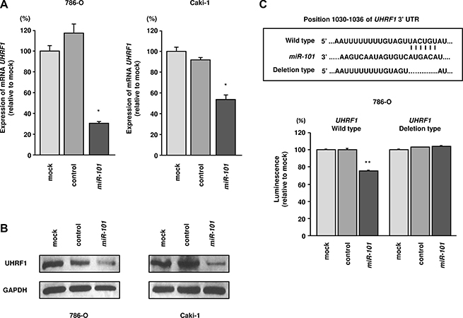 miR-101 directly downregulated UHRF1 expression in RCC cells.