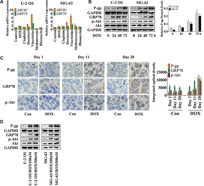 DOX induces P-gp, GRP78, and p-Akt expression in vitro and in vivo.