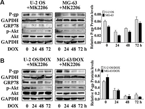 MK2206 inhibits DOX-induced P-gp expression in OS parental cell lines and resistant sublines.