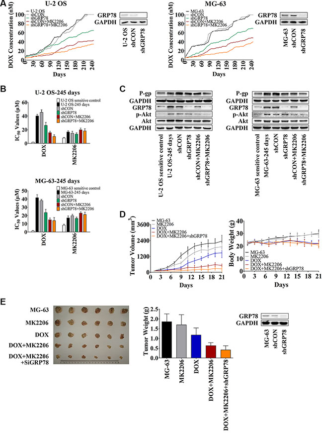 Knockdown of GRP78 combined with MK2206 inhibits the development of DOX-induced chemoresistance in OS cells in vitro and in vivo.