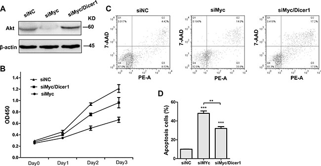 Depletion of Dicer1 abrogated the effect of c-Myc silencing in NB4 cells.