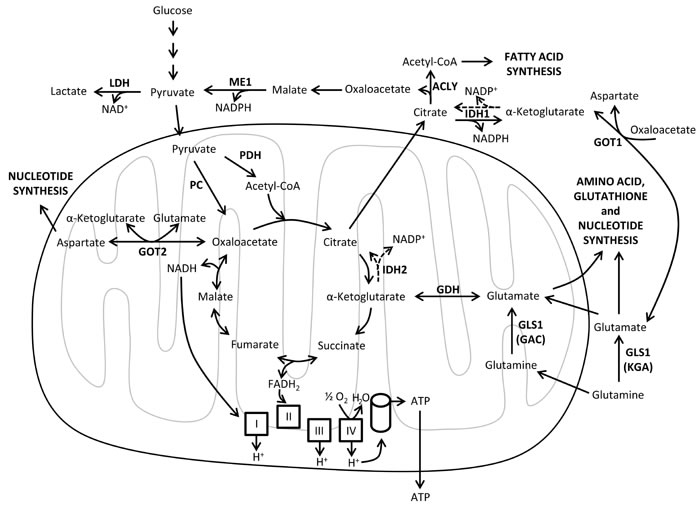 Mitochondrial metabolism.