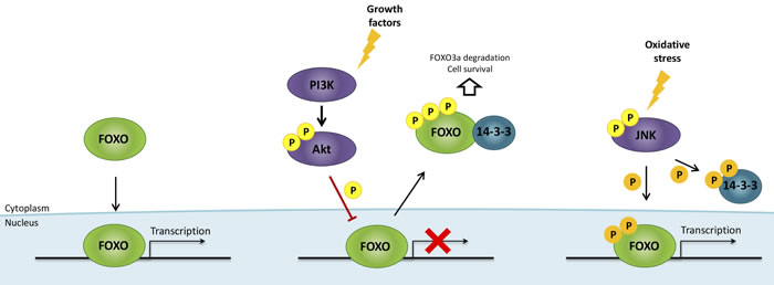FOXO regulation by growth factors and oxidative stress.