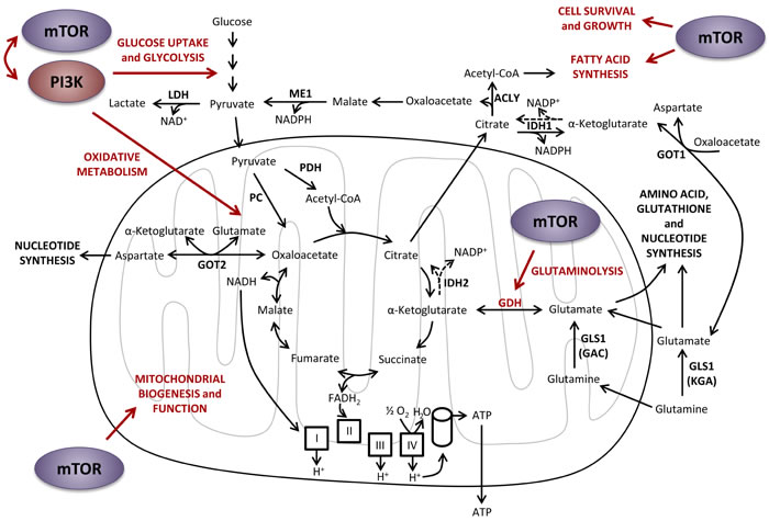 Effects of PI3K and mTOR on central carbon metabolism.