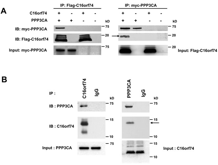 Interaction between C16orf74 and PPP3CA.