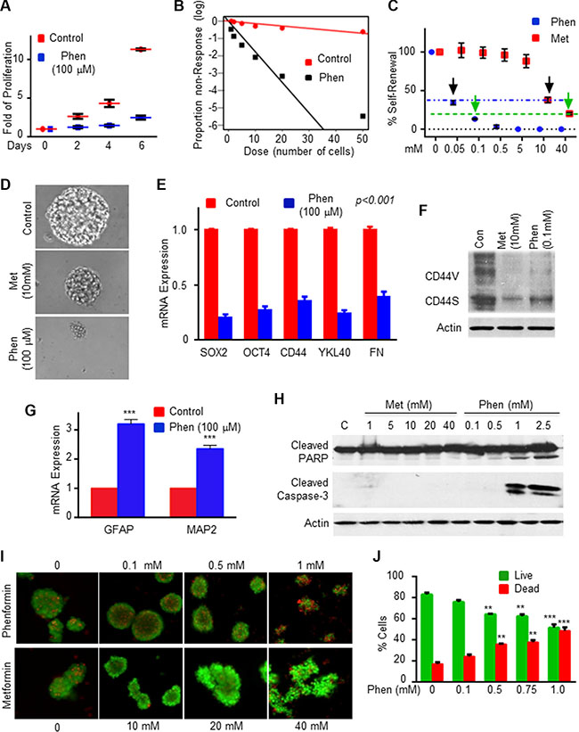 Phenformin inhibits GSC self-renewal and induces GSC apoptosis.