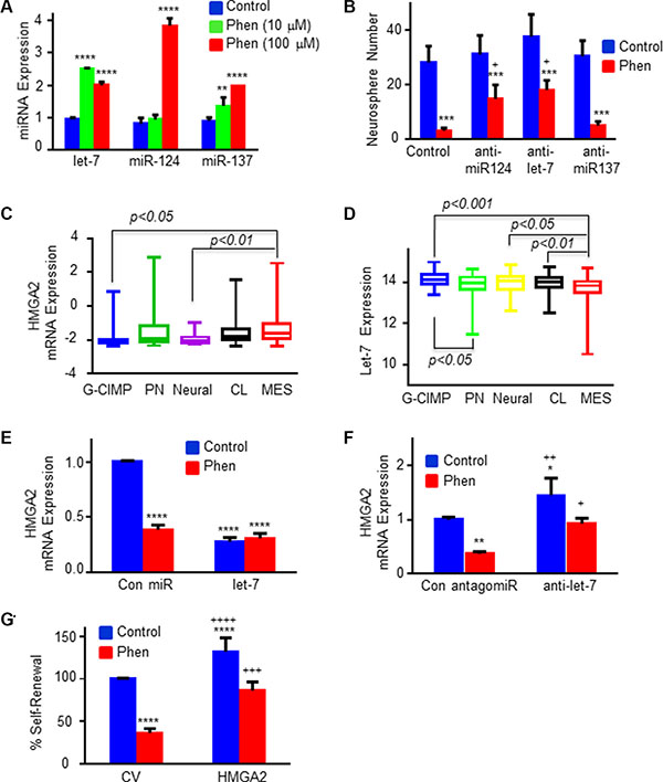 Phenformin regulates the expression of specific miRNAs and HMGA2 in GSCs.