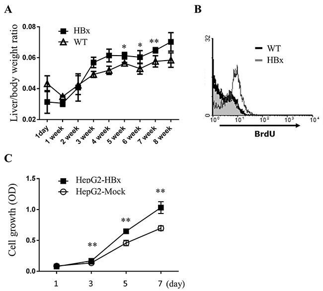 HBx increases cell growth in livers of mice and HepG2 cells.