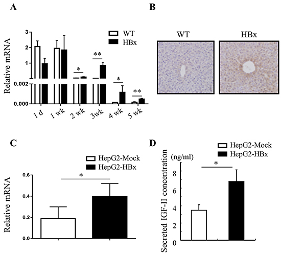 HBx induces IGF-II mRNA and protein expression.