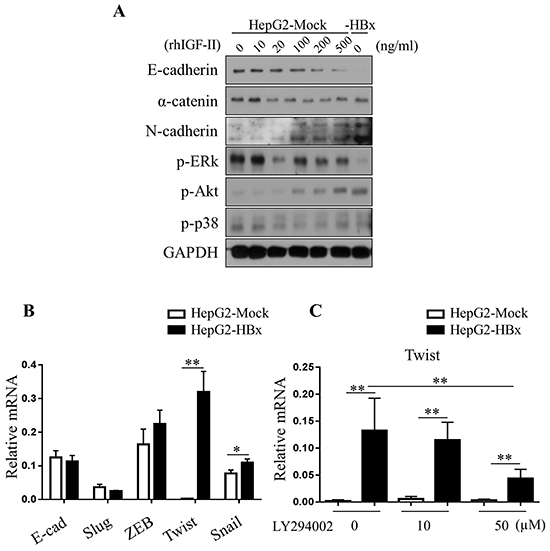 Loss of E-cadherin in HepG2 cells are dependent on Akt pathways.