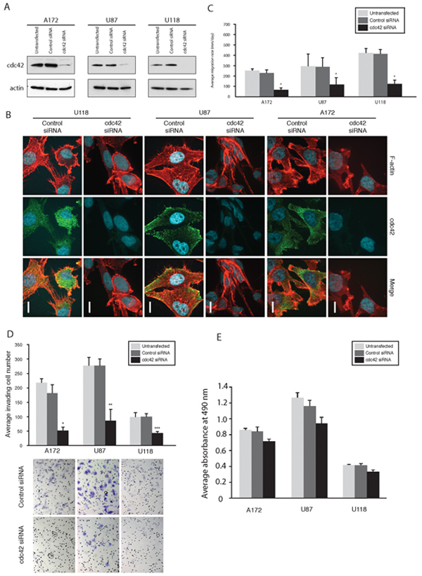 Knockdown of Cdc42 modulates morphology, suppress migration, and invasion of GBM cells