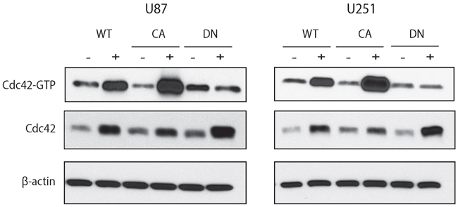 Doxycycline inducible cell lines expressing WT-, CA-, and DN-Cdc42 in U87MG and U251MG.