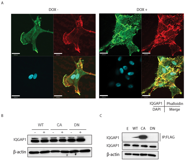 A. Confocal microscope images experiments demonstrate IQGAP1 co-localization to filopodia and focal adhesions.